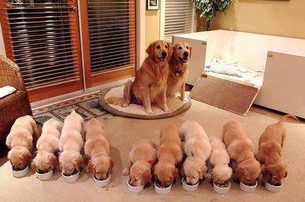 10 štěnat a šťatní rodiče