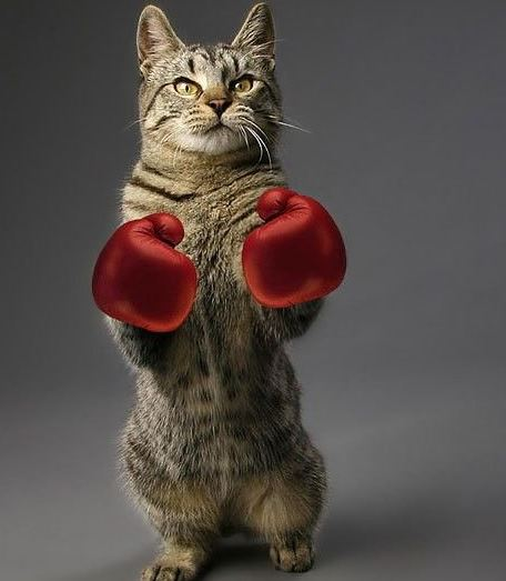 Kočka boxer