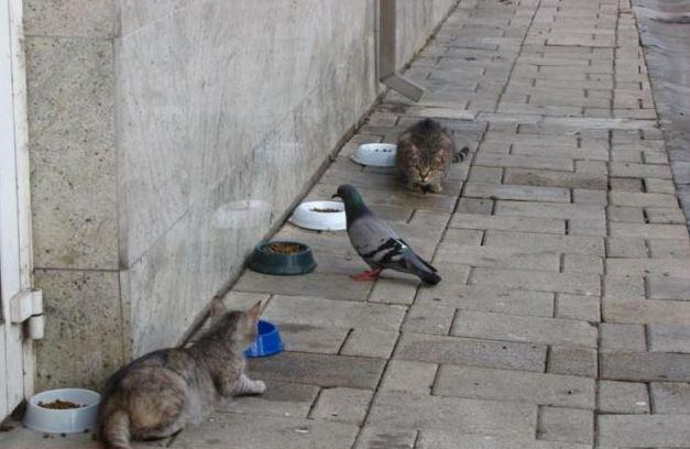 Bacha holub