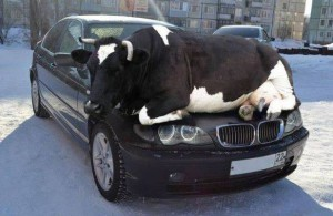 Na BMW ulovíš leda tak krávu