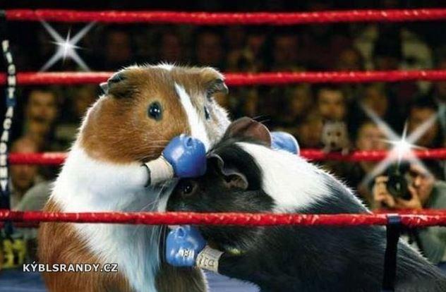Boxerský zápas morčat