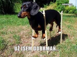 I malého psa může být velký dobrman