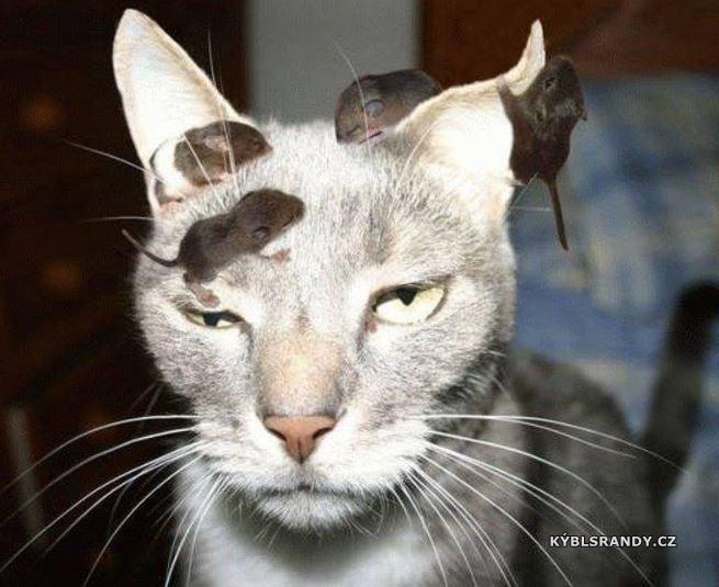 Flegmatická kočka