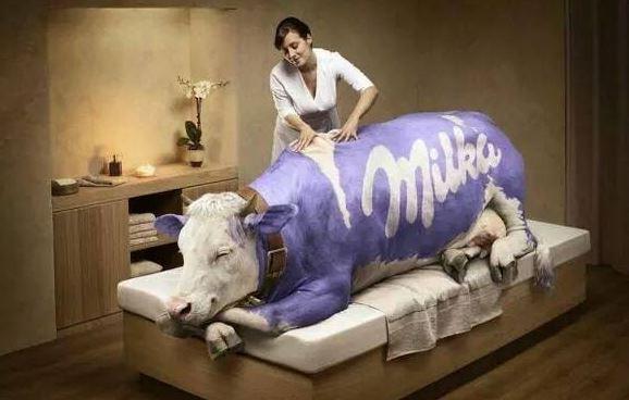 I kráva Milka potřebuje masáž