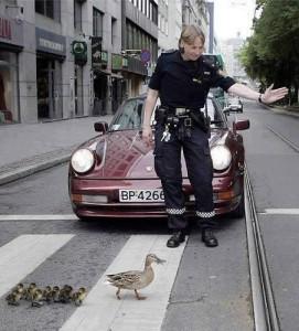 Kachní rodinka na přechodu pro chodce
