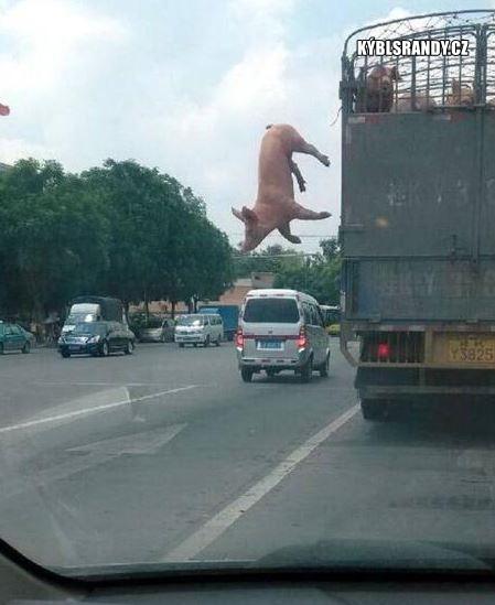 Když vyskočí prase z náklaďáku