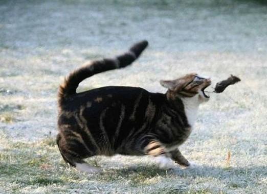 Kočka chytá myš