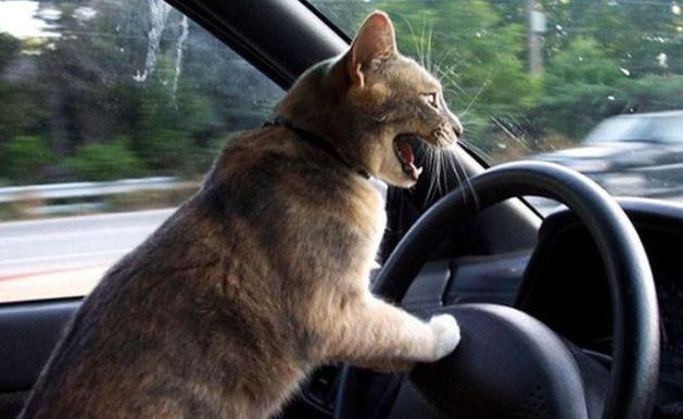 Kočka za volantem