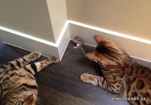 Když si kočky hrají s myší