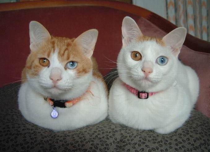 Kočky s různobarevnýma očima