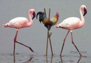 Kohout pelikán