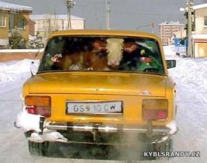 Kráva v autě