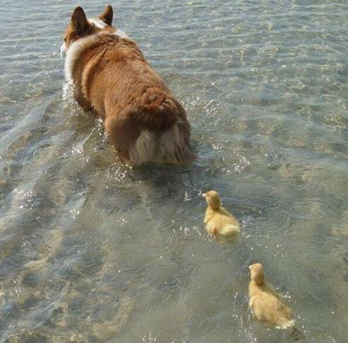 Místo kachny pes