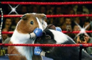 Morčata boxeři