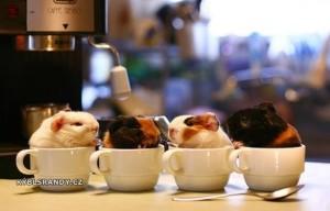 Roztomilá morčata