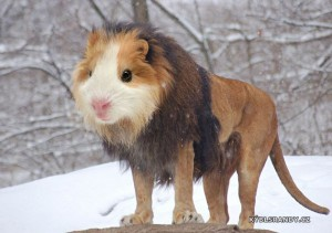 Morče nebo lev?