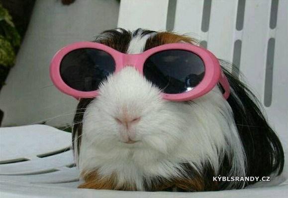 Morče s brýlema