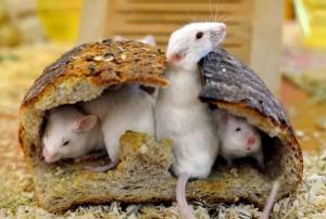 Myší hnízdo v chlebu
