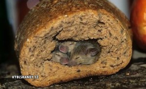 Myší rodinka v chlebu
