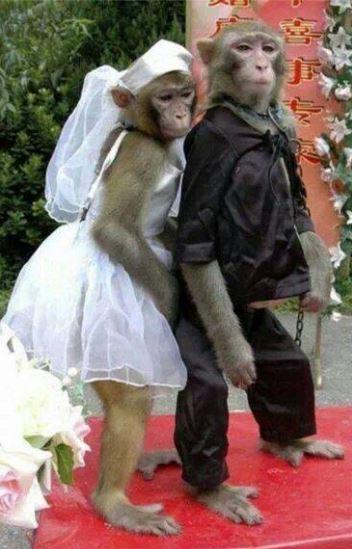Opičí svatba