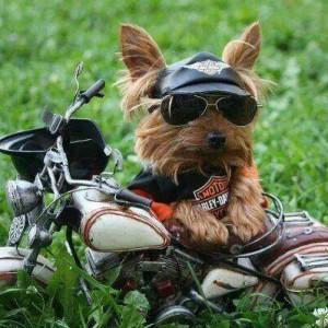 Pes drsňák - motorkář