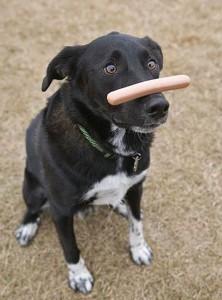Poslušný pes