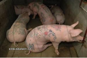 Potetovaná prasata