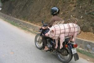 Převoz prasete na motorce