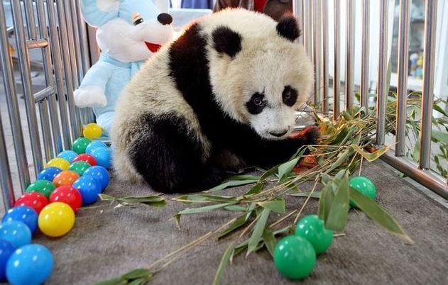 Roztomilá panda
