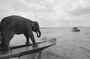 Slon na vodních lyžích