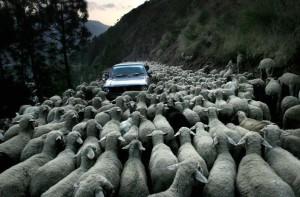 Pozor, stádo ovcí
