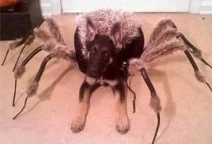 Vlčák, nebo pavouk?