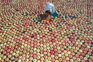 Všude jablka