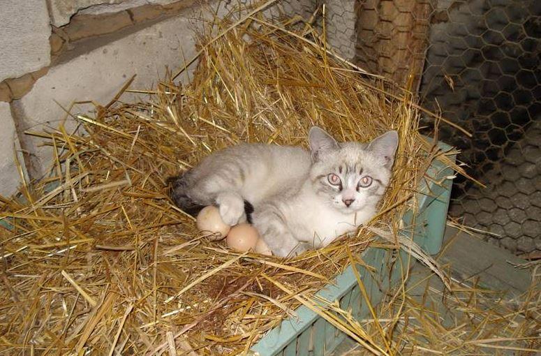 Vysedí ta kočka kuřátka?