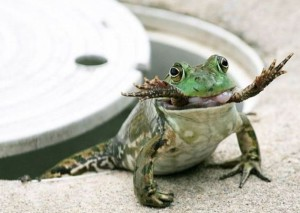 Žába žere žábu
