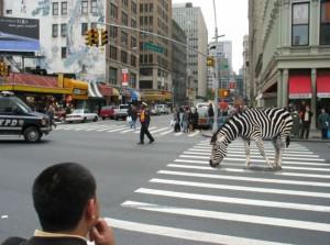 Zebra a zebra