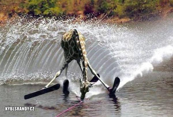 Žirafa na vodních lyžích